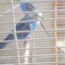 To take care of a parakeet