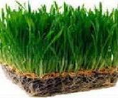 Grow Wheatgrass at Home