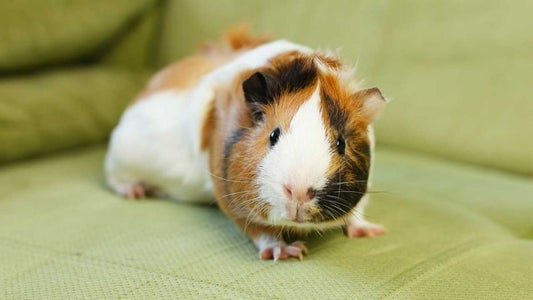 How to Treat Your Guinea Pig for Heat Stroke/Overheating/Hyperthermia