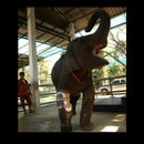 Prosthesis for Elephant Injured by a Landmine