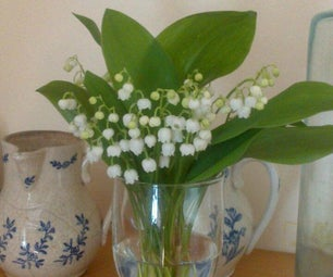 How to Find and Share (wild) Lily of the Valley