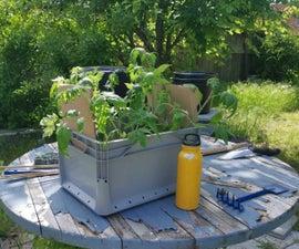 Die Tomaten Umpflanzen