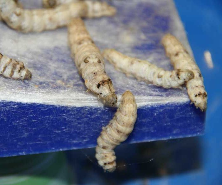 Experiment: Design with silkworms