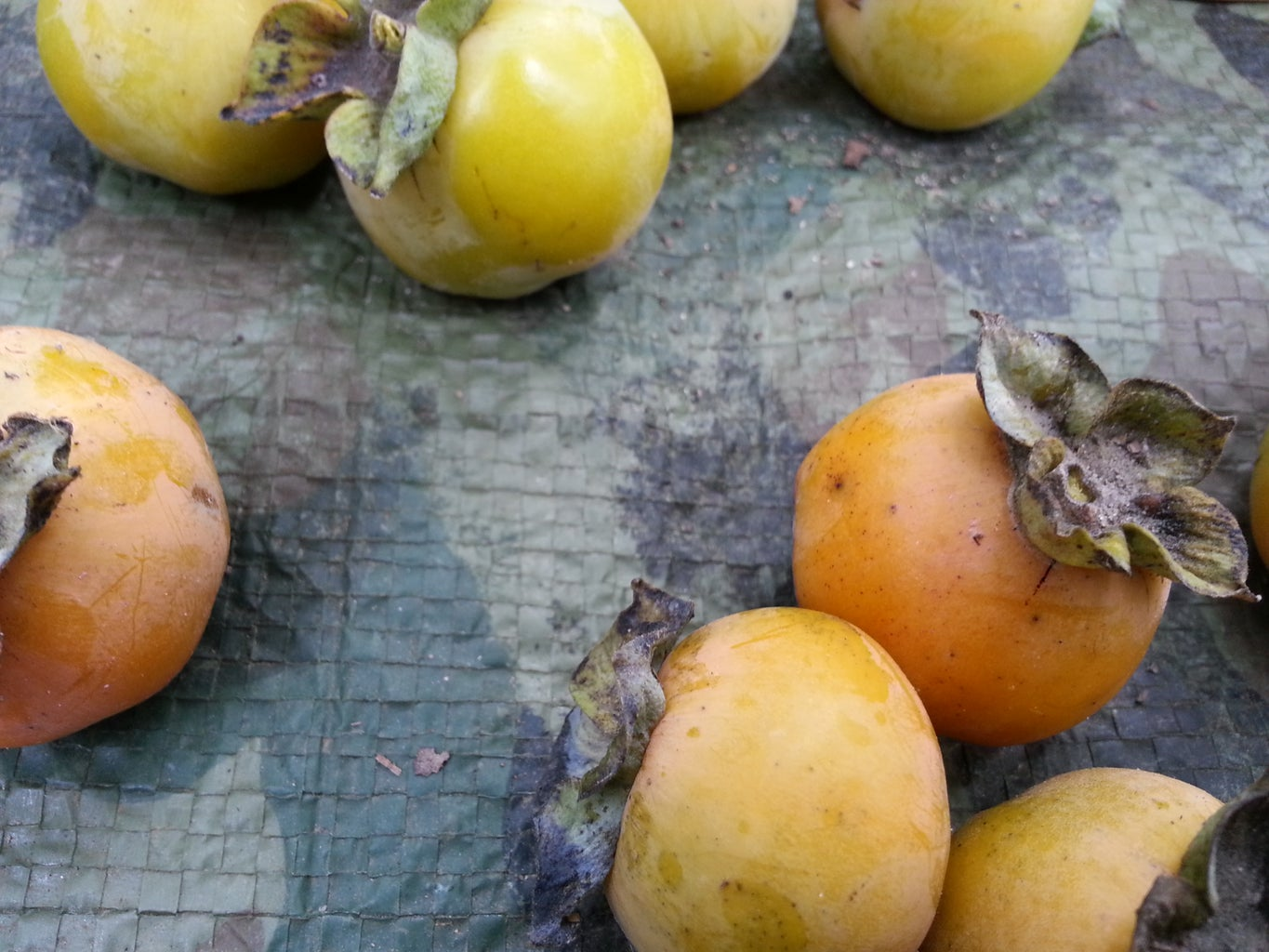 Foraging Persimmons