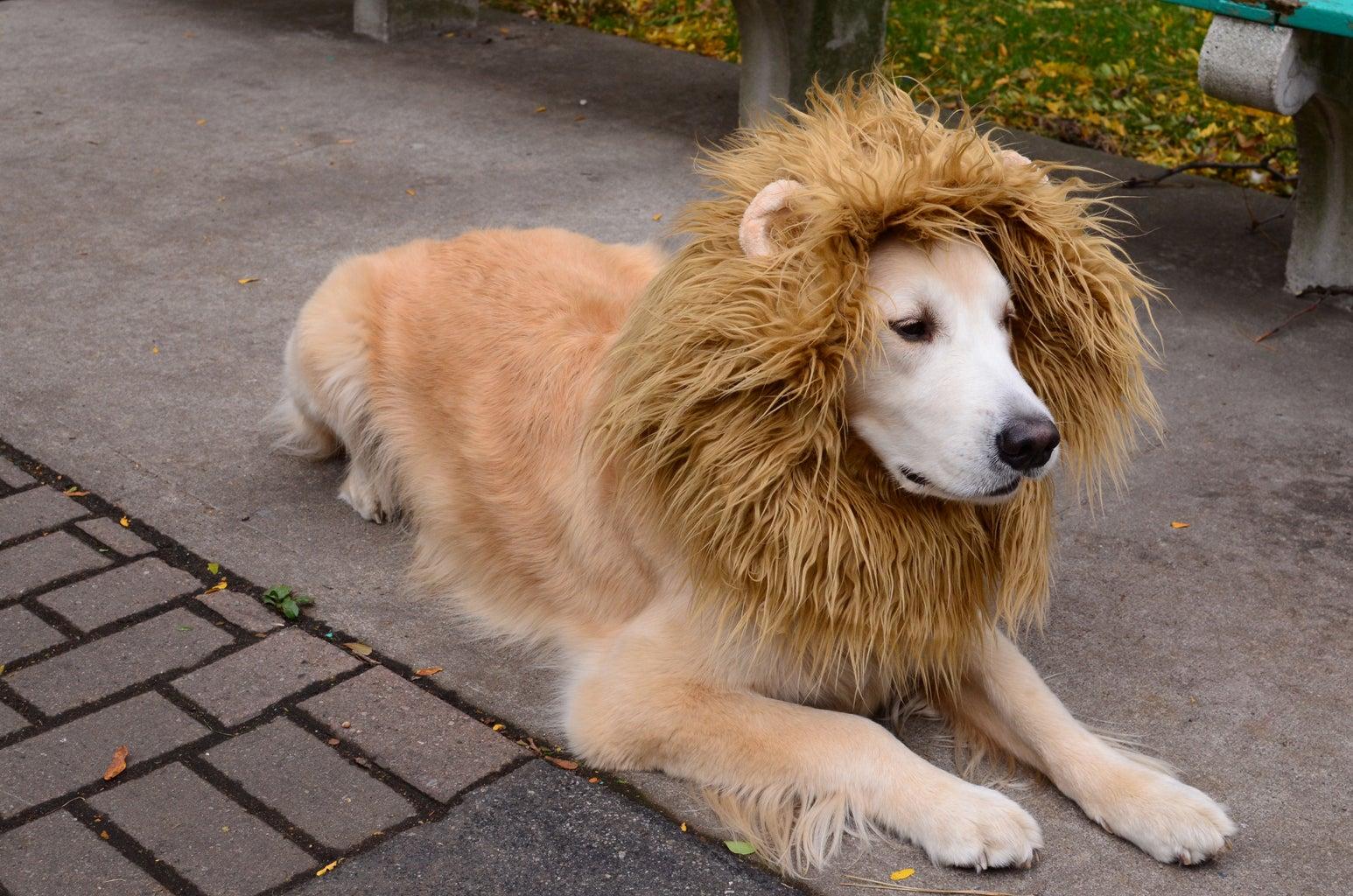 Lion Dog Costume