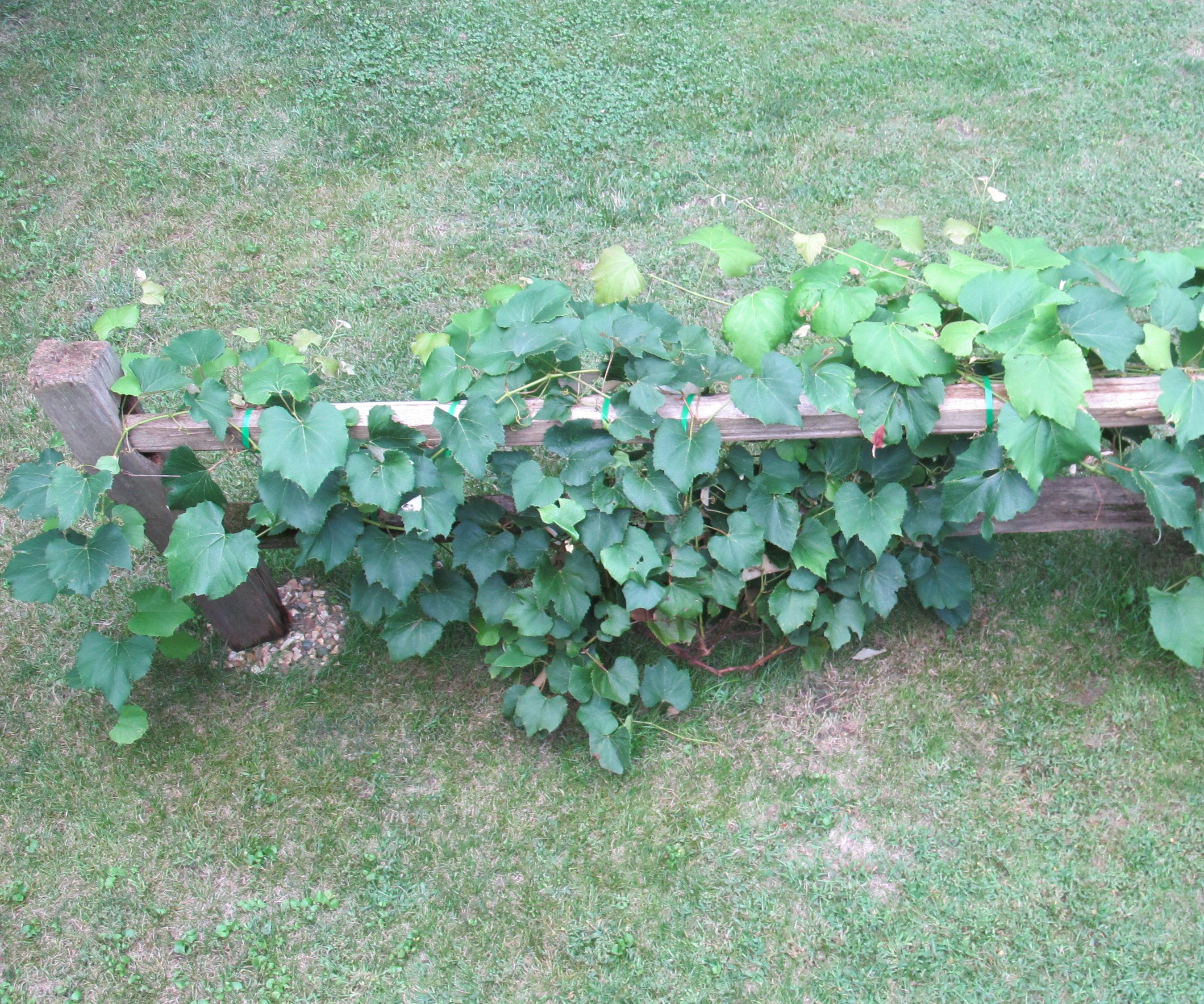 Grape Vine Trellis From a Salvaged Split-Rail Fence