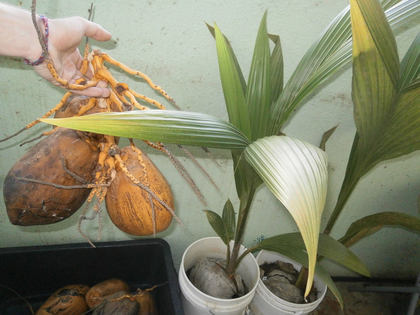 From Coconut to Palmtree