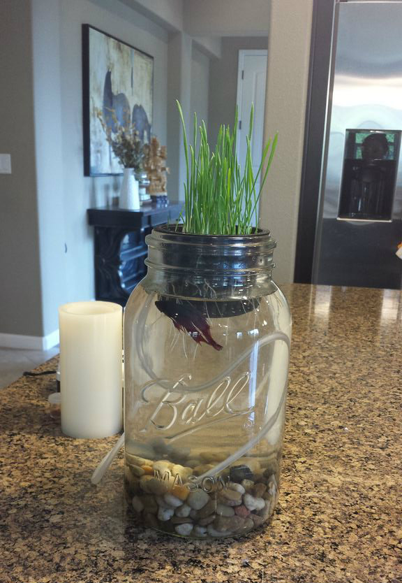 Just keep Swimming Aquaponic- Grow Wheat Grass