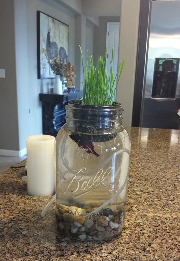 Just keep Swimming Aquaponic- Grow Wheat Grass