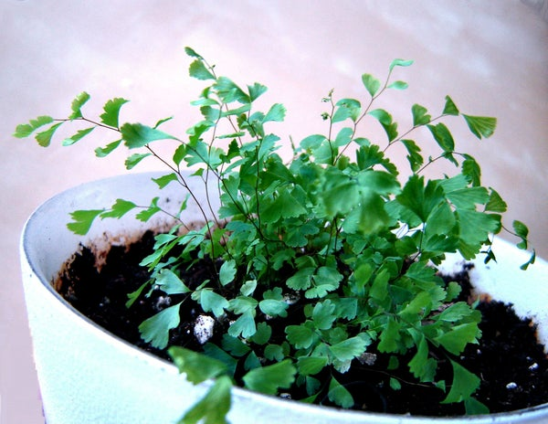 How to Grow Ferns From Spores