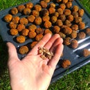 Forage and process your own black walnuts!