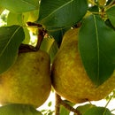 Organic Pear Pie