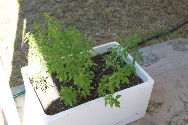 A Herb Planter Out of a Foam Box.
