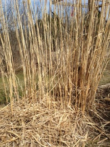 Decorative Grass Spring Cleanup