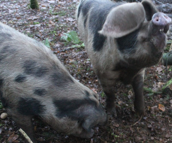 Discovering Oxford Sandy and Black Pigs. Scottish Organic Smallholding. Highland Homestead Part 1. Fermette Écossaise - Cochons De Race Rare. Granja Escocesa - Los Cerdos De Raza Rara