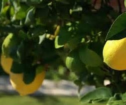 HOW TO GROW LEMONS FROM SEEDS