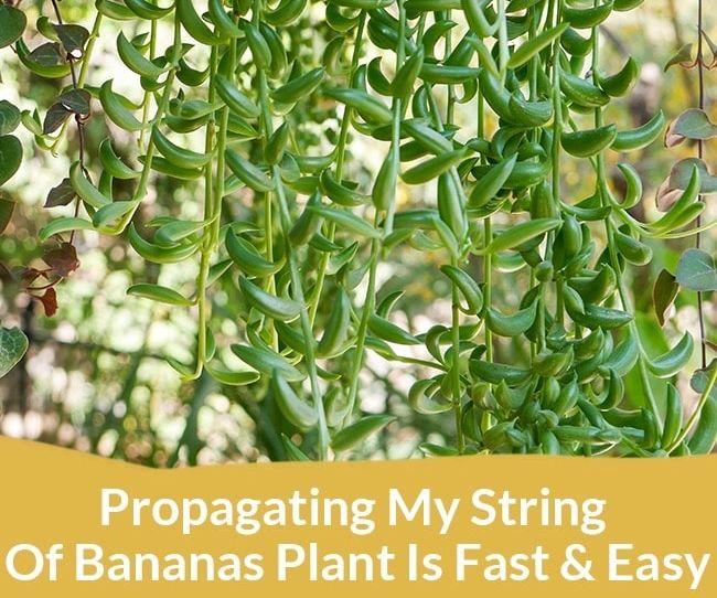 Propagating My String of Bananas