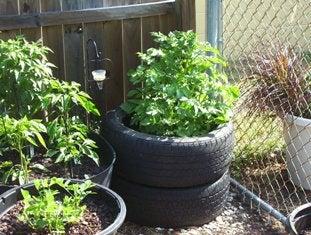 Grow Potatoes in Tires