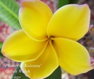Tropical Plants - Plumeria Flowers in Chicago - Plant Hardiness Zone 5