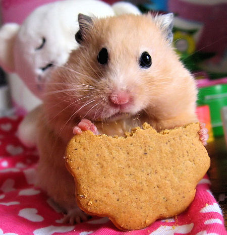 how to make a hamster treat or dumpling ( and for other rodent pets)