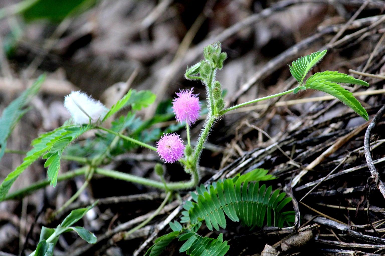 Laj Wanti ( Sensitive Plant ) :