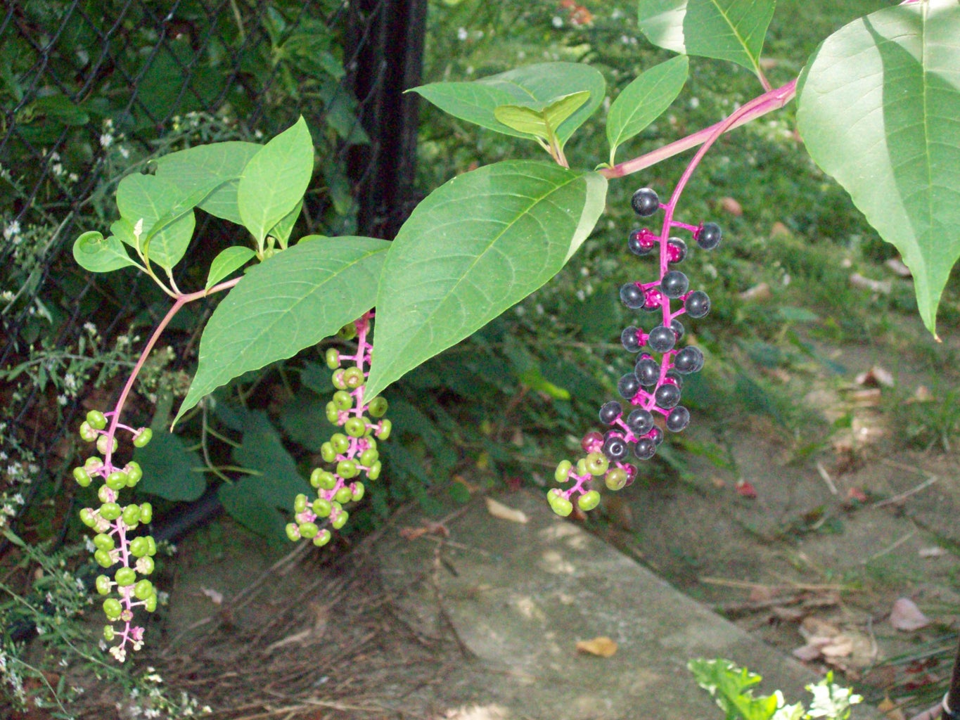 Natural Dye From Pokeweed