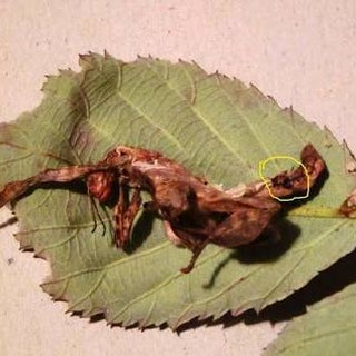 Taking Care of Australian Spiny Leaf Insects
