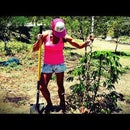 How To Plant Cassava \ Yuca \ Tapioca