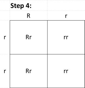 Determine Possible Offspring by Filling in the Punnett Square