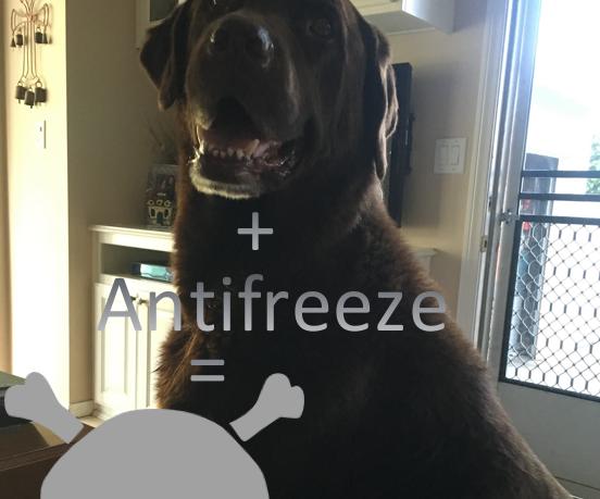 Treatment of Antifreeze, or Ethylene Glycol, Poisoning in Animals