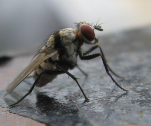 The Housefly -  Macro Approach Without Fancy Camera