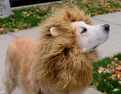 A Dog and His Mane