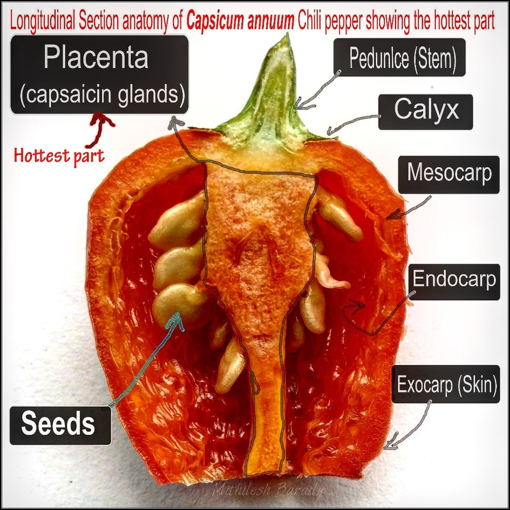 Hottest Part of Chilli Pepper & Eating Explained.
