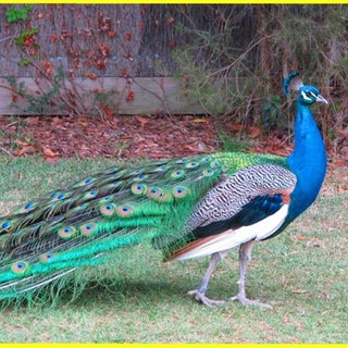 peacock at Melbourne Zoo 1  .jpg