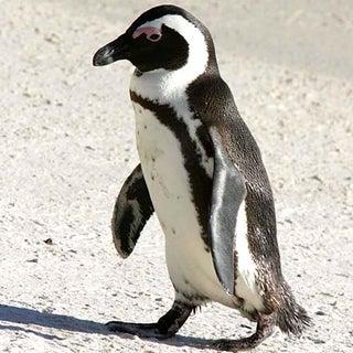 PenguinJck-Jul05CT-vertwl-w.jpg