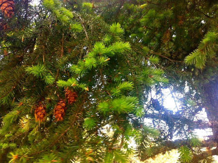 Pine Tip Simple Syrup