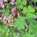 How to Find a 4 Leaf Clover in 5 Minutes!