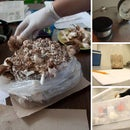How to make a Shiitake Mushroom log