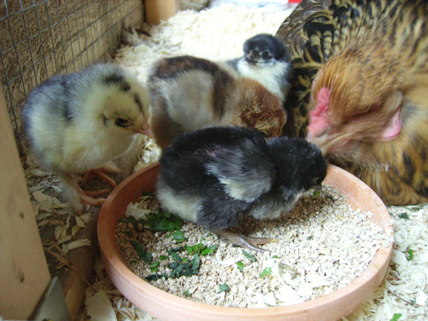 Hatching Chicken Eggs Naturally