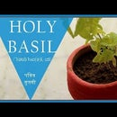 """How to Plant Indoor """"HOLY BASIL"""""""