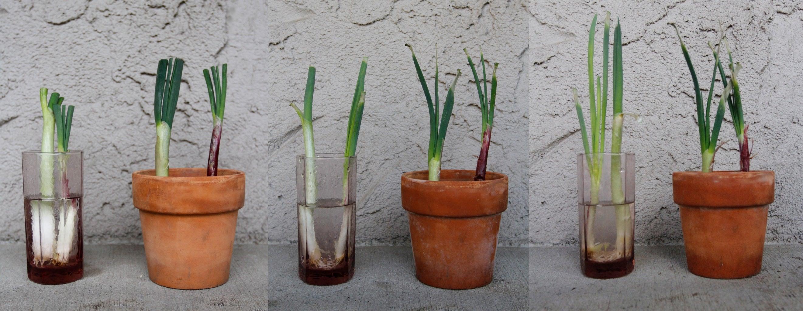Watch As the Onions Grow
