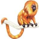 scimmiettarossa