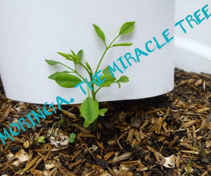 Gathering Moringa, a.k.a. The Miracle Tree