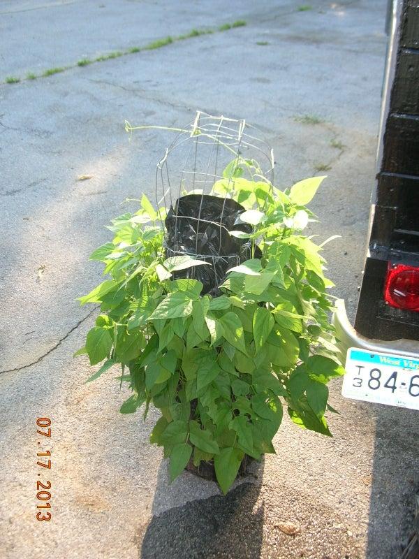 How to Grow a Vertical Lima & Green Bean Vegetable Garden
