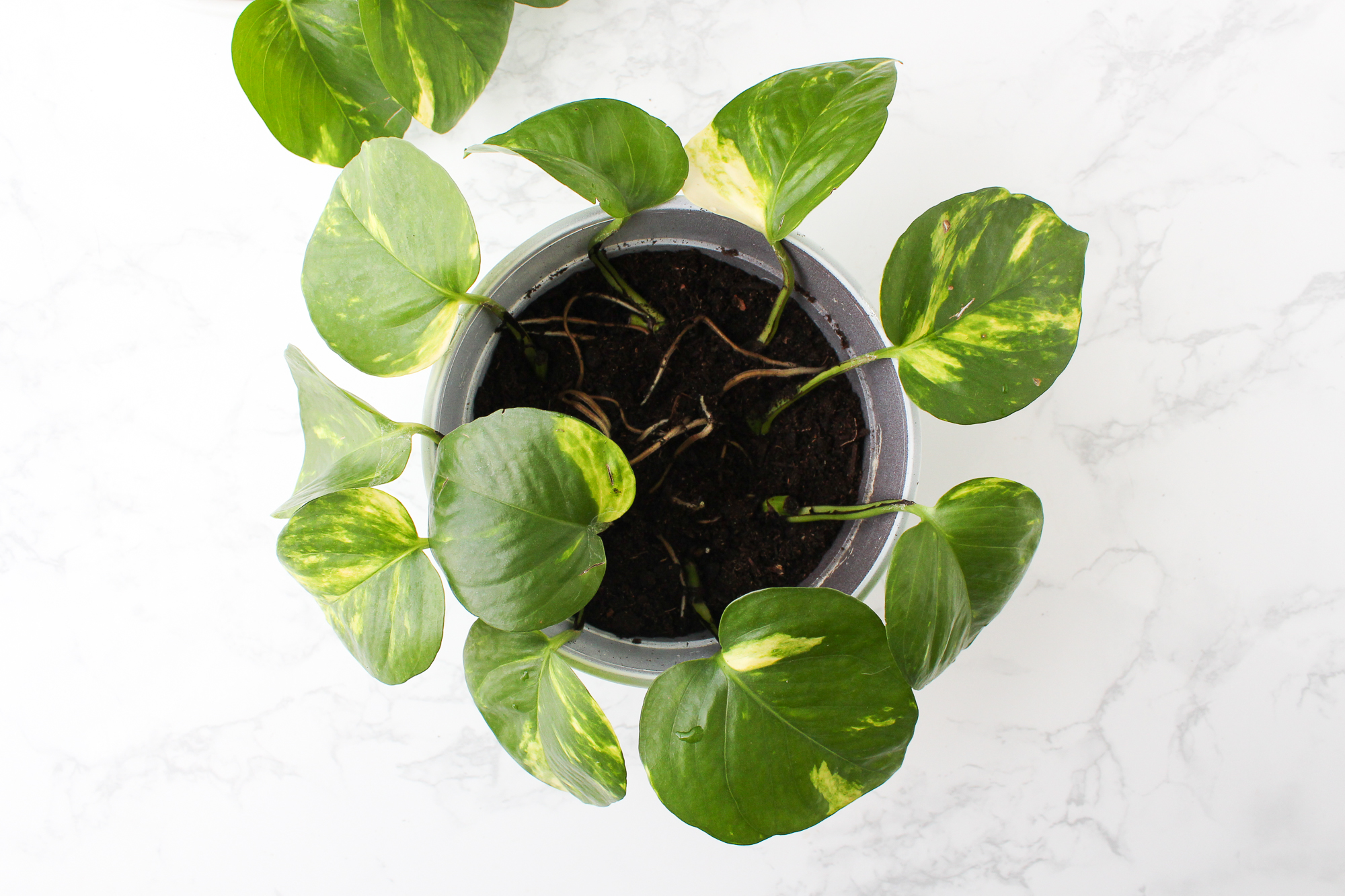 How To Propagate A Pothos Plant 6 Steps With Pictures Instructables