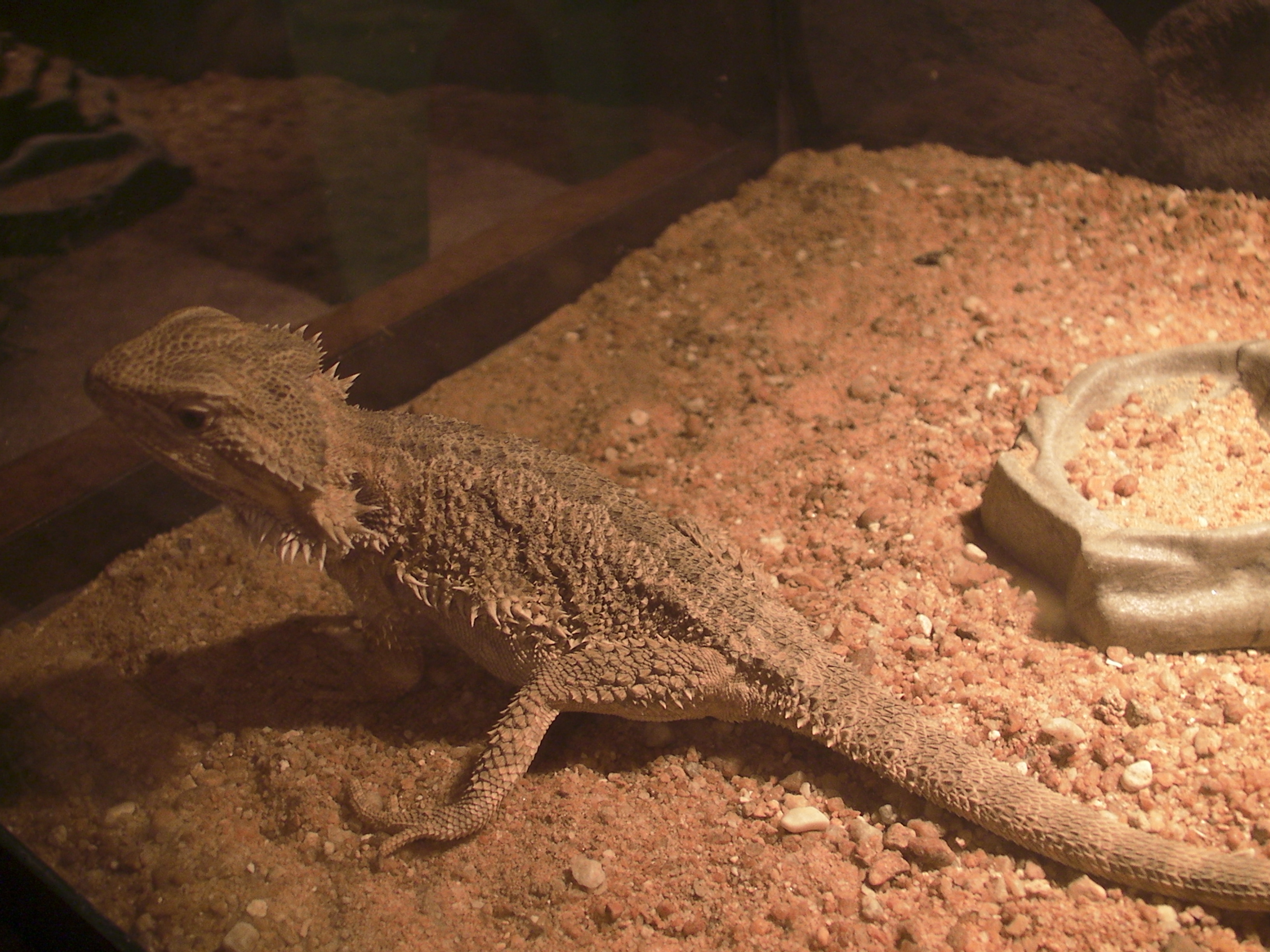 how to properly care for a bearded dragon