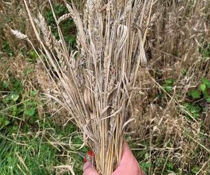微农业:在后院种植小麦