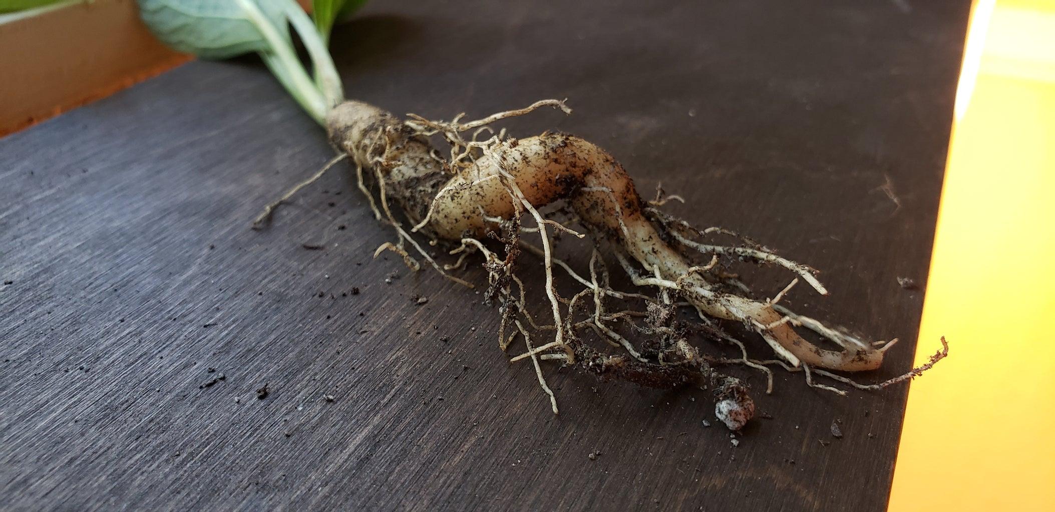 Mandrake Planter