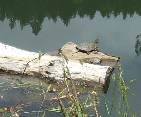 Habitat for Pond Turtles: Turtle Sofas!
