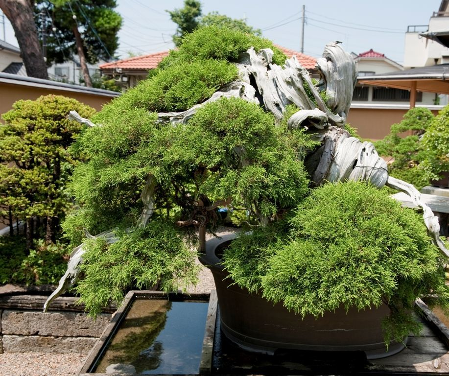 HOW TO GIVE STYLING TO A BONSAI